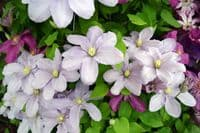 Clematis Silver Moon